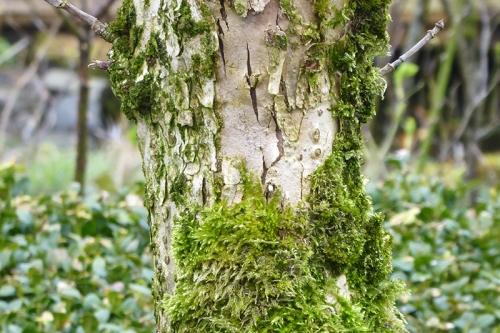 moss elder