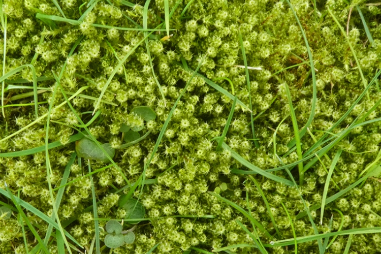moss on drying green