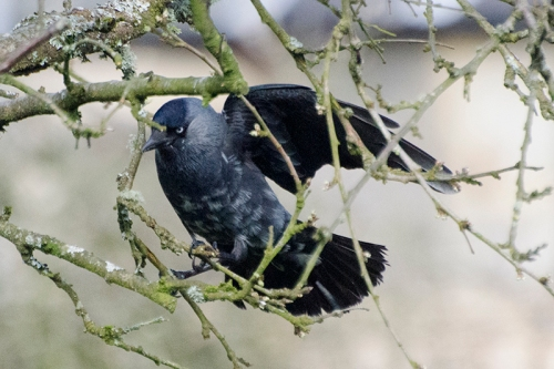 Mottled jackdaw in plum tree