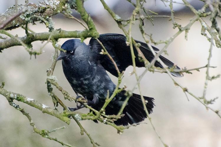 Mottled jackdaw in plum tree