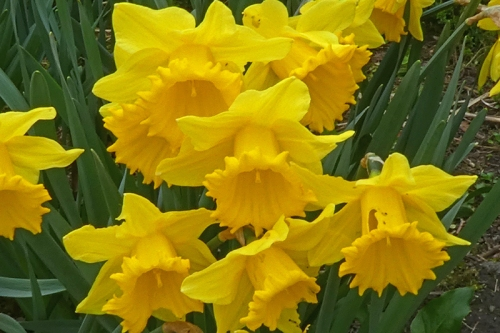 nibbled daffodil