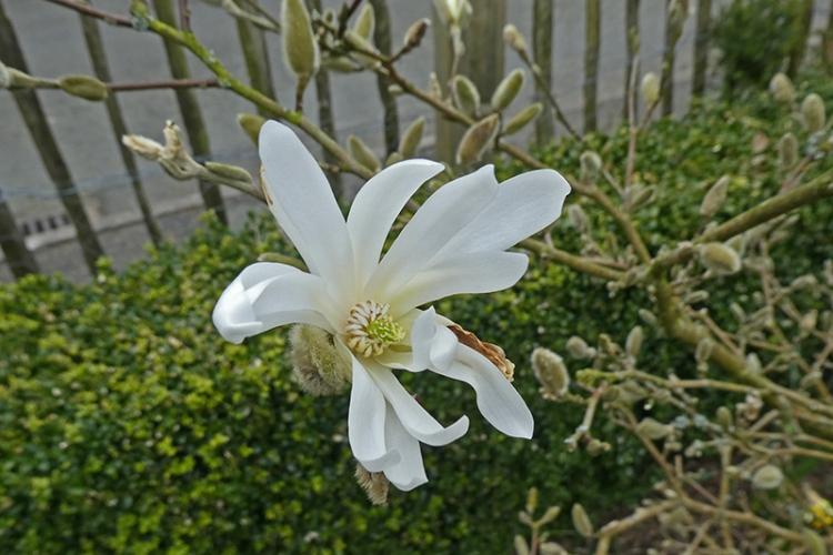 open magnolia flower