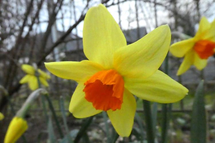 orange trumpet daffodil