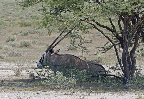 Oryx aka gemsbok,