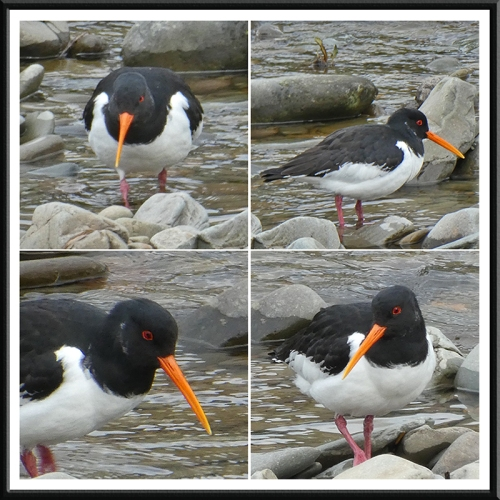oyster catchers composite