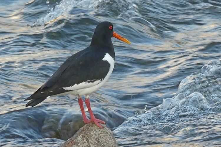 oystercatcher and dramatic river