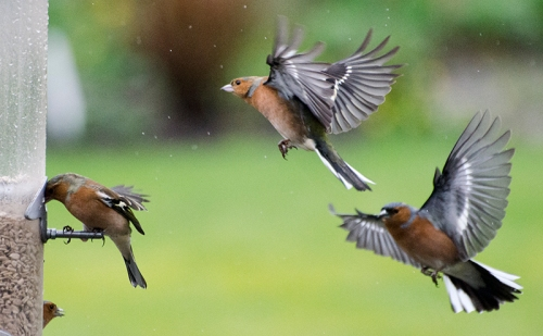 pair of incoming chaffinches