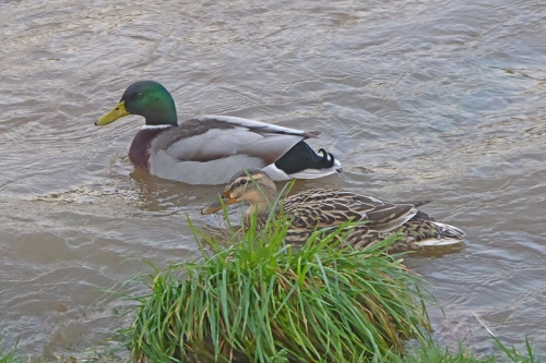 pair of mallards in calm water