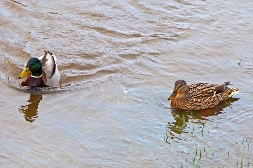 pair of mallards on wauchope
