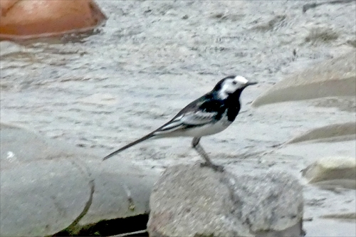 pied wagtail ewes
