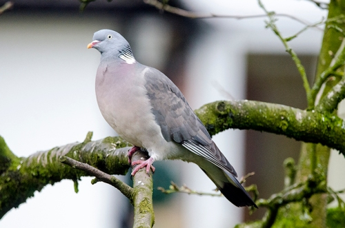 pigeon in the plum tree
