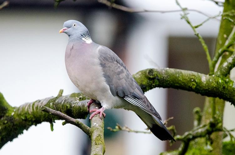 pigeon in the plum tree