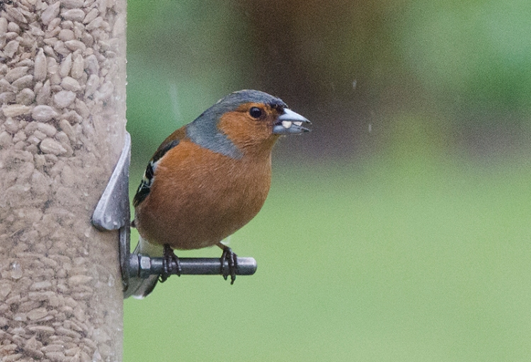 posing chaffinch with seed