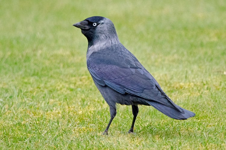 questing jackdaw