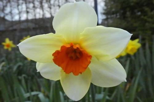 red trumpet daffodil