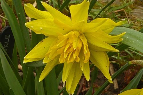 Rip van Winkle daffodil