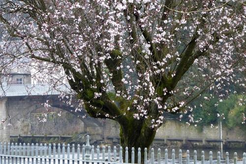 riverside blossom