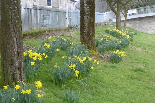 riverside daffodils