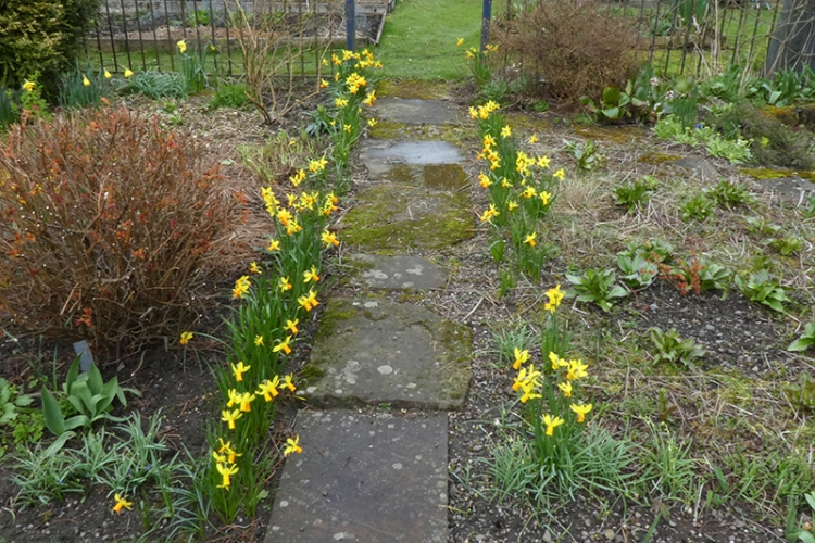 row of daffs and fallen wire