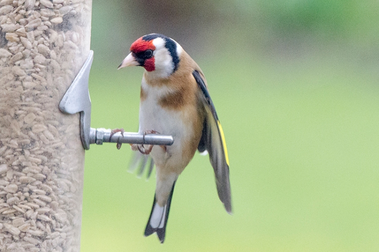 secure goldfinch