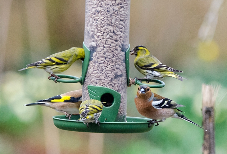 sisikins overwhelm a chaffinch