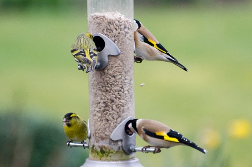 siskin and goldfinch and food