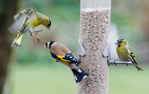 siskin and goldfinch confrontation