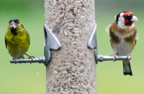 siskin and goldfinch wet