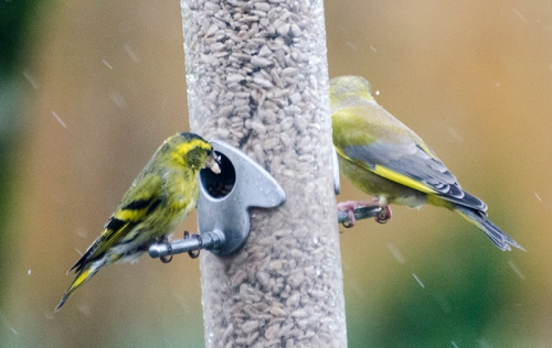 siskin and green finch