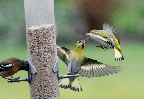 siskin and siskin cinfrontation