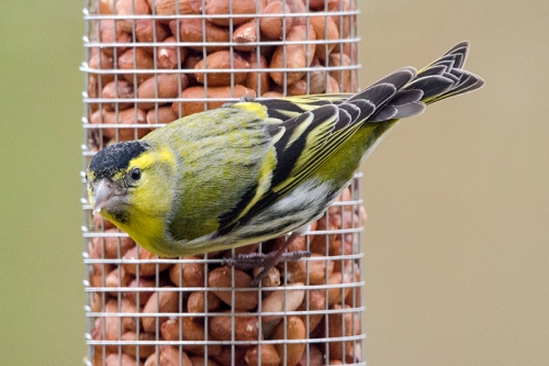 siskin eating peanuts