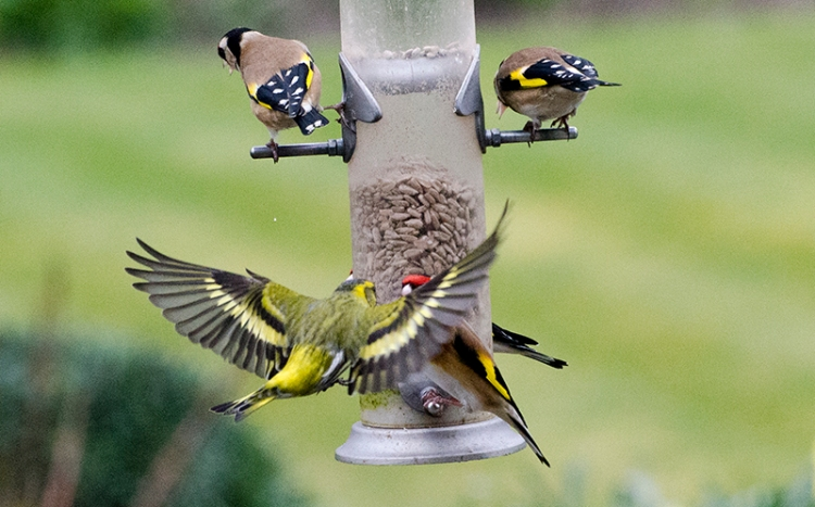 siskin in need of a perch