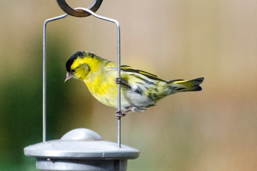 siskin posing in sunshine