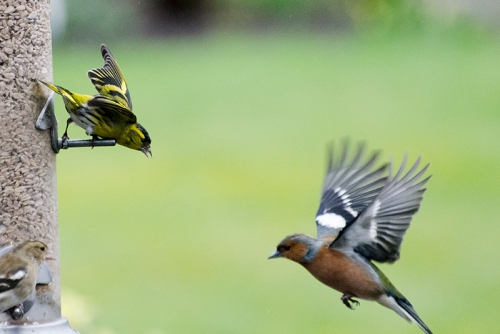 siskin shout down at a chaffinch