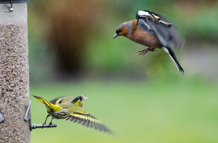 siskin shout up at a chaffinch