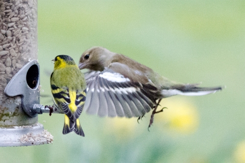 siskin under pressure from chaffinch