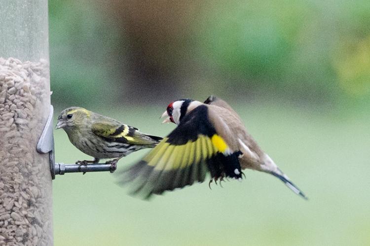 siskin under pressure from goldfinch