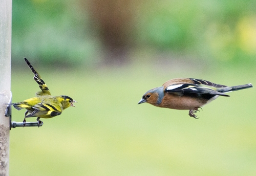 siskin warning chaffinch