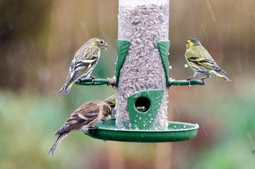 siskins and redpoll in the rain