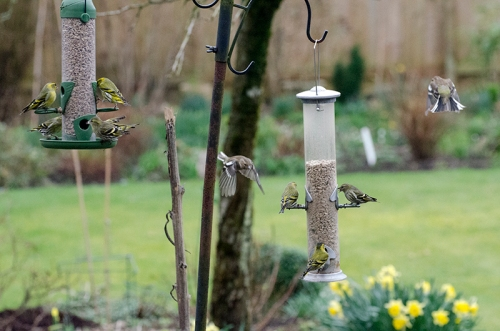 siskins at both feeders