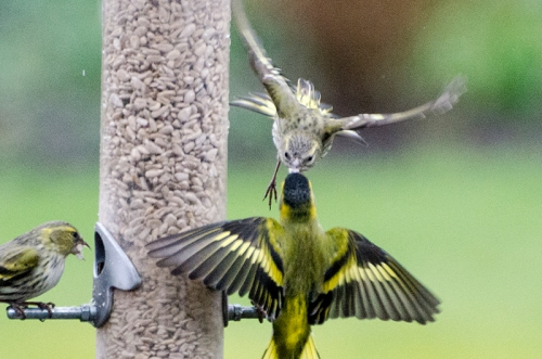 siskins attack each other