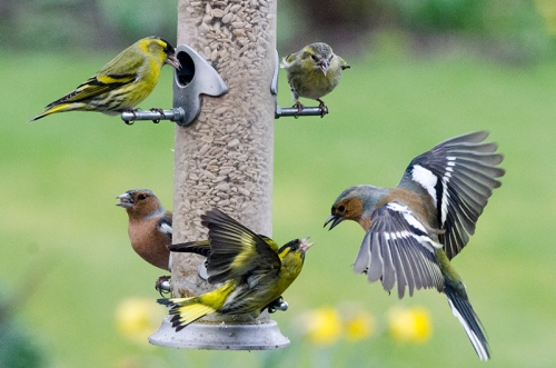siskins ganging up on chaffinch