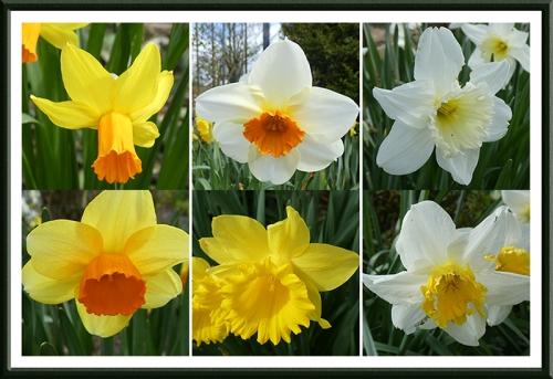 six daffodils