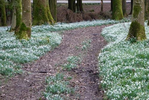 snowdrops Holmhead