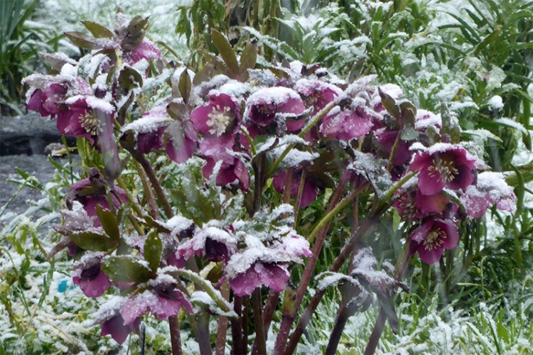 snowy hellebores march