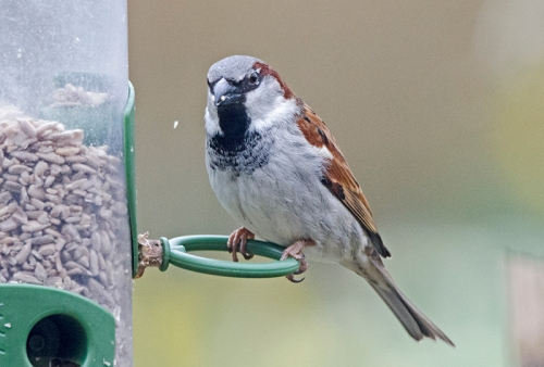 sparrow posing on feeder