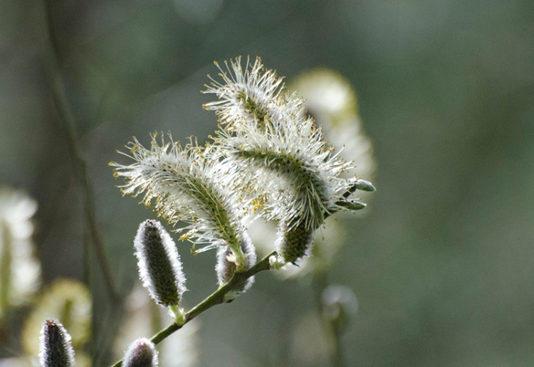 sunlit willow