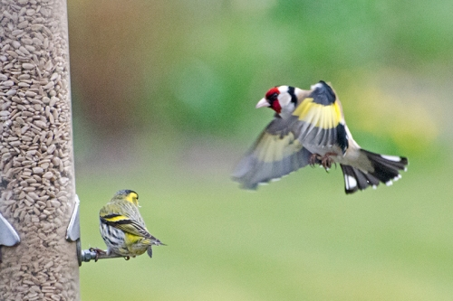 threatening goldfinch