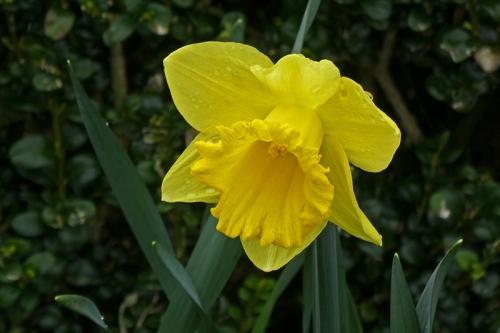 trad daffodil