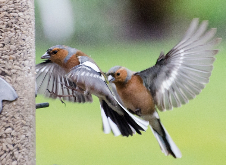 two chaffinches approaching